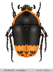 beetle white background