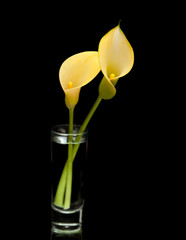 yellow calla lily islolated on black