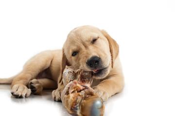 Junger Labrador kaut an einem Knochen