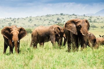 Herd of elephants, Kidepo Valley National Park (Uganda)