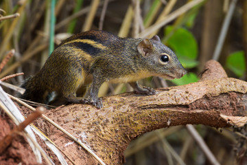 Asiatic striped squirrel (Tamiops) in nature in Thailand