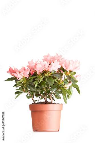Tuinposter Azalea Indian azalea with flowers of salmon color in a pot