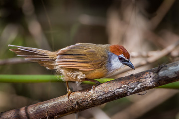 Chestnut-capped Babbler (Timalia pileata) in nature