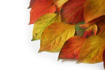foglie autunnali_ sfondo bianco