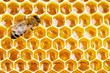 working bee on honeycomb cells - 73350238