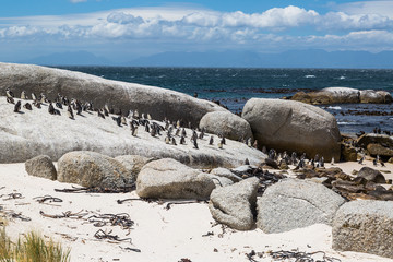 Boulders Beach, African Penguin colony