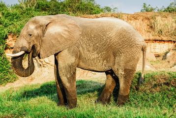 Male African elephant eating leaves, Kazinga Channel (Uganda)
