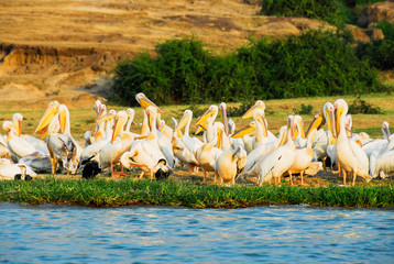 Great White pelicans, Kazinga Channel (Uganda)