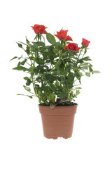 Roses in a flower pot