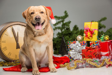 Labrador with Santa Hat. New Year's garland and presents