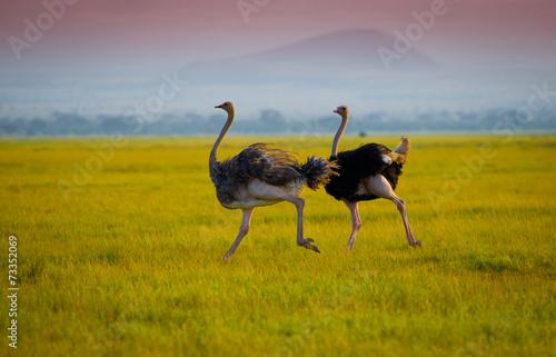 Staande foto Struisvogel African ostrich