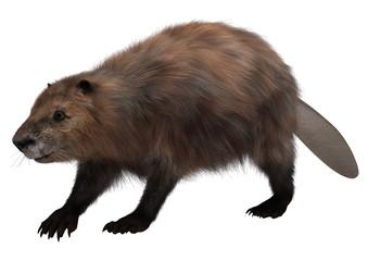 Beaver on White