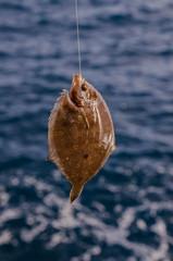 Whole Single Fresh Sole Fish