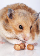Hamster with nuts