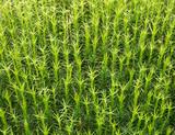 Sphagnum moss background