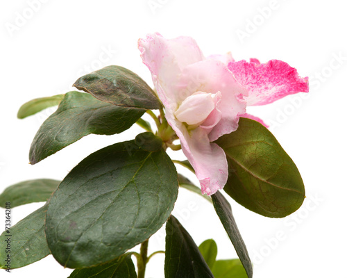 Fotobehang Azalea pink azalea isolated on white background