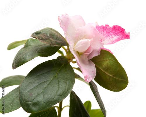Foto op Plexiglas Azalea pink azalea isolated on white background