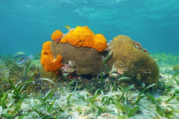 Underwater life with Great Star coral and sponges