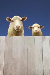 板壁ごしに見つめる親子羊
