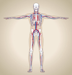Human (male) circulatory system