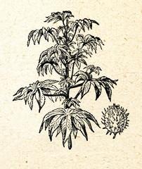 Castor oil plant (Ricinus communis)