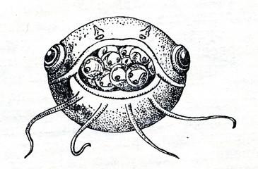 Mouthbrooding catfish