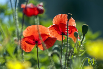 two poppy field