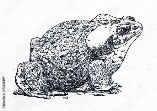Leinwandbild Motiv Cane toad (Rhinella marina)