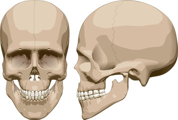 Human skull (male). Vector illustration