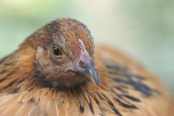 Hühnerporträt
