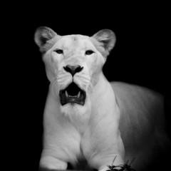 Closeup of white lion © art9858