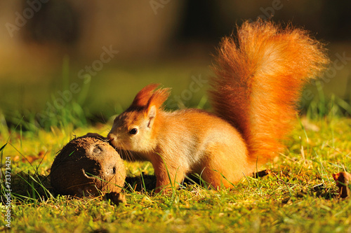 Tuinposter Eekhoorn Red squirrel with coconut