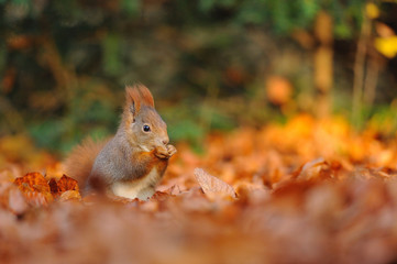 Red squirrel with hazelnut on leafs