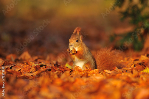 Fotobehang Eekhoorn Red squirrel with hazelnut on leafs