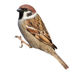 Passer montanus, Tree Sparrow.