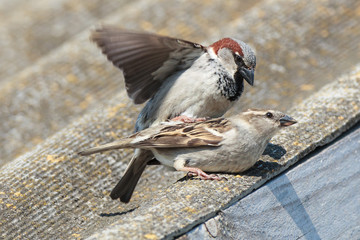 Passer domesticus, House Sparrow.