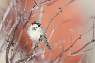 Passer domesticus, House Sparrow.