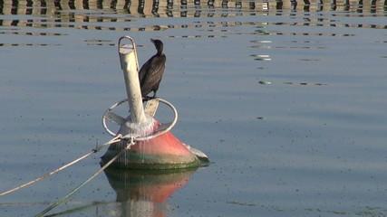 bird cormorant (Phalacrocorax carbo) on buoy in harbor
