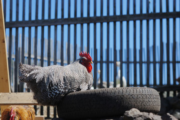 speckled rooster sits on old tires