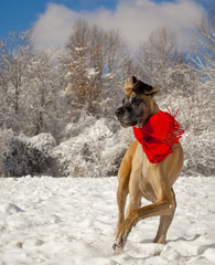 Vertical image of great Dane wearing red scarf in snow