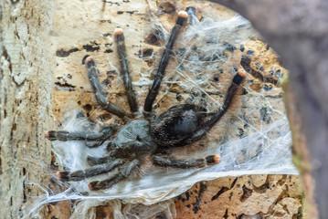 Tarantula spider.