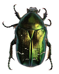Green beetle. Rose chafer , cetonia aurata isolated on white