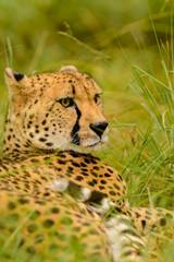 A Cheetah (Acinonyx jubatus) in its natural environment.
