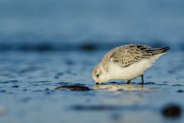 Sanderling (Calidris alba) at the shore of the north sea.