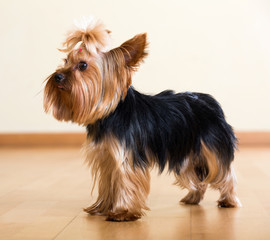 Yorkshire Terrier dog staying on  floor