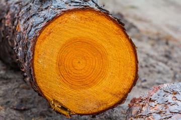 closeup pine log
