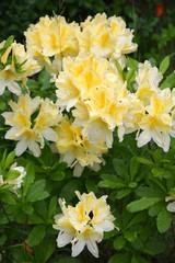 Bush Lily flower