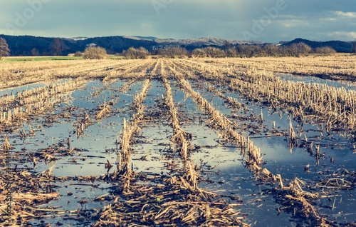 Flooded corn field - 73384414