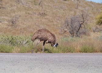 An Emu along a road in South australia