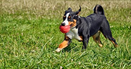Appenzell cattle dog running on the green grass